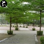 Cây bàng Đài Loan lá nhỏ